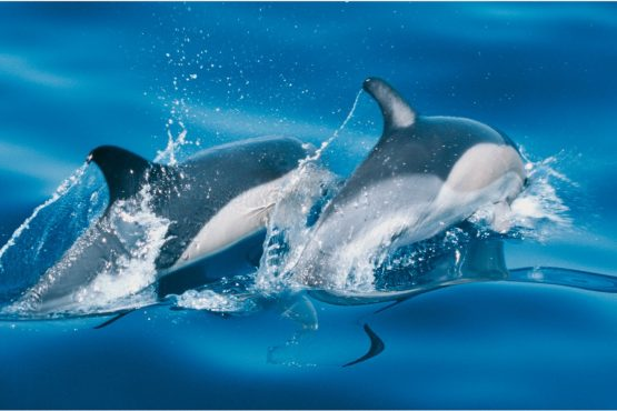 bildhauer dolphins 4 555x370 - Dolphins & Whales