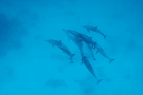 bildhauer dolphins 2 555x370 - Dolphins & Whales